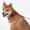 썰스데이 레드 강아지목줄