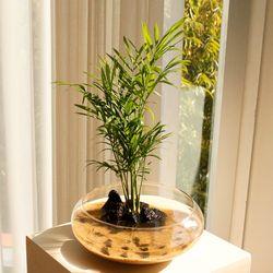 실내공기정화 유리수반 마리모 백운산 키우기-식물:테이블야자