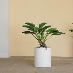 [공기정화식물개업식물화분] 콩고