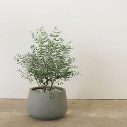 [허브식물공기정화식물] 유칼립투스