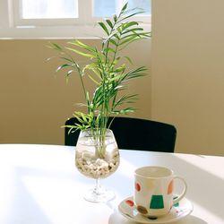 꽝손도 키우는 수경재배 실내공기정화식물 (식물:테이블야자)