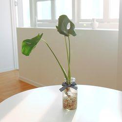 꽝손도 키우는 수경재배 실내공기정화식물 (식물:몬스테라)