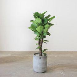 [실내공기정화개업식물] 떡갈고무나무