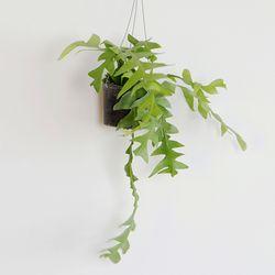 공기정화 가랜드 행잉식물 크리소카디움
