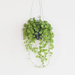 공기정화 가랜드 행잉식물 디시디아그린