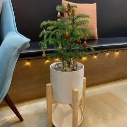 겨울 행사 크리스마스 트리나무 아라우카리아