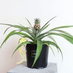 반려식물 미니 파인애플