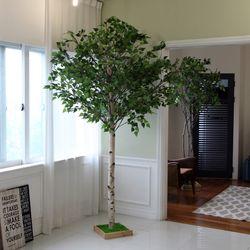 조화나무 실내조경 인테리어 자작나무240cm (사방형)