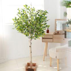 조화나무 실내조경 인테리어 자작나무150cm (사방형)