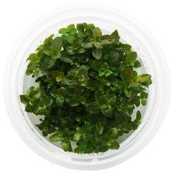무균 조직 배양수초 - 드워프 레드바코바