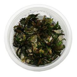 무균 조직 배양수초 - 피나디피다
