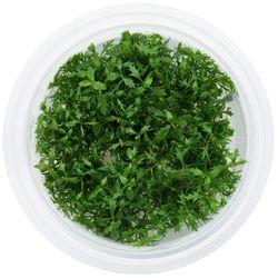 무균 조직 배양수초 - 프로서피나카 팔루스트리스