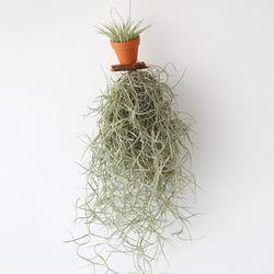 모빌 수염 이오난사(미니) 틸란드시아 공기정화 먼지먹는 식물