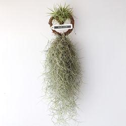 하트 수염 이오난사(중) 틸란드시아 공기정화 먼지먹는 식물