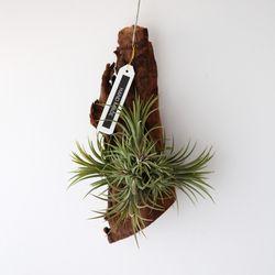 유목 이오난사 클럼프 틸란드시아 공기정화 먼지먹는 식물