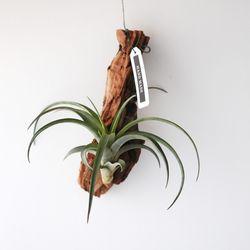 유목 플랙스오사 틸란드시아 공기정화 먼지먹는 식물