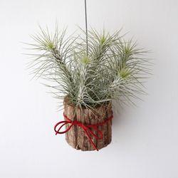 나무화분 푼키아나 틸란드시아 공기정화 먼지먹는 식물