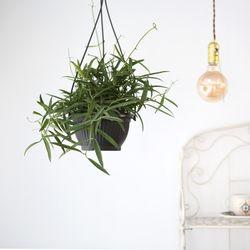 립살리스 필리핀 행잉 대형 공기정화식물 행잉플랜트