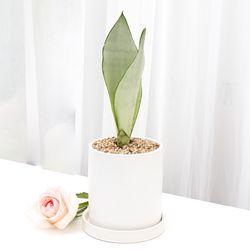 미니 소형 문샤인 산세베리아 키우기 쉬운 식물