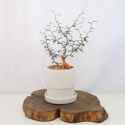 마오리 소포라 소품 미니 소형 식물