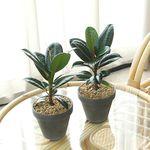 미니 멜라닌 고무나무 독일 토분 소형 멜라니
