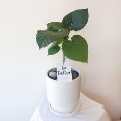 공기정화식물 휘커스 움베르타 중형화분