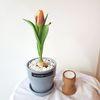 튤립 봄꽃 구근식물 화분
