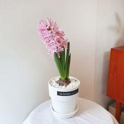 히아신스 봄꽃 구근식물 화분