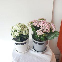 카랑코에 봄꽃 사계절피는 꽃화분