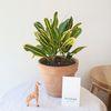공기정화식물 바나나크로톤 열대식물 소형토분