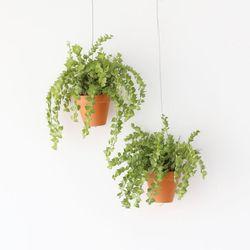 행잉토분 디시디아 밀리언하트 공기정화식물 먼지먹는식물