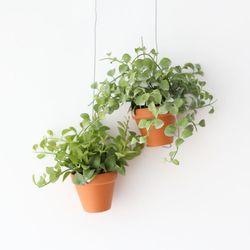 행잉토분  디시디아 그린 애플 공기정화식물 먼지먹는식물