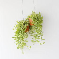 행잉토분 디시디아 그린망고 공기정화식물 먼지먹는식물