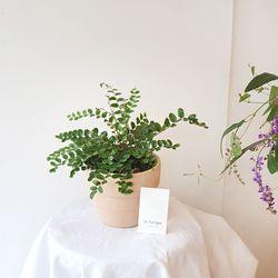 공기정화식물 단추고사리 토분