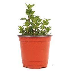 스피아민트 허브(1포트) - 공기정화식물