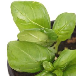 바실 허브 (1포트) - 공기정화식물