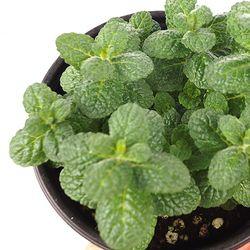 애플민트 허브 (1포트) - 공기정화식물