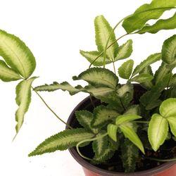 프트리스 - (수생 수중 수경재배식물)