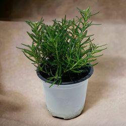 로즈마리 1포트 - (공기정화식물)