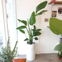 대형식물 극락조 160-170cm(서울경기만가능)
