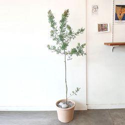 자엽아카시아 토분 140-150cm(서울경기만가능)