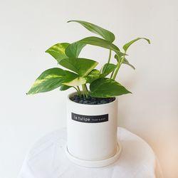 공기정화식물 스킨답서스 화이트화분