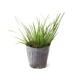미니 석창포  2포트  - (수생 수중 수경재배식물)