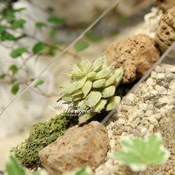 8CM 싱글 다육식물