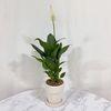 플라랜드 공기정화식물 집들이선물 스파티필름 화이트토분