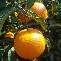 제주 오렌지 청견 감귤 10kg 산지직송