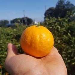 제주 오렌지 청견 감귤 5kg 산지직송