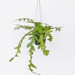 키우기 쉬운 행잉식물 크리소카디움 에어플랜트 공기정화식물