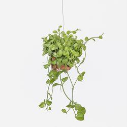 키우기 쉬운 행잉식물 디시디아그린볼 에어플랜트 공기정화식물