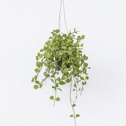 키우기 쉬운 행잉식물 디시디아그린 에어플랜트 공기정화식물